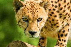 Filename: cheetah wallpaper free hd widescreen Resolution: File size: 491 kB Uploaded: Winslow Round Date: Cheetah Wallpaper, Cat Wallpaper, Wallpaper Pictures, Cheetah Face, Face Profile, Wildlife Safari, Cheetahs, African Masks, Big Cats