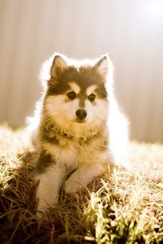 Fable - Australia's first Blue Domino Finnish Lapphund | Flickr ...