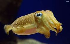 Squid, octopus, and cuttlefish are considered masters of disguise in the ocean. A recent study by Goodwin and Tublitz tested a new technique to study cuttlefish camouflage … Underwater Animals, Underwater Creatures, Ocean Creatures, Cute Creatures, Beautiful Creatures, Underwater Life, 2k Wallpaper, Baby Animals, Cute Animals