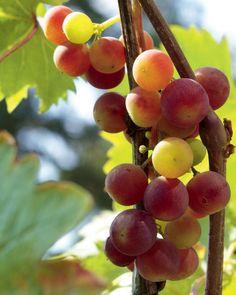 Kiinalainen viiniköynnös tuottaa hyvin rypäleitä.