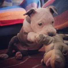 Pit bull puppy playing with toy