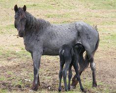 Nokota Horse Conservancy