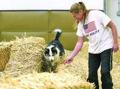 Canine scavenger hunt - 11 year old Maya goes through the novice level barn hunt fun test with her handler Erin Madsen. Dogs competing in the novice test had to successfully find a rat inside of a PVC tube, climb over hay, and go through a tunnel in less than two minutes. Maya successfully completed all three tasks. Barn hunting relies mostly on instinct and the handlers ability to tell what their dog is signaling. (KAITLYN BERNAUER/Yakima Herald-Republic)