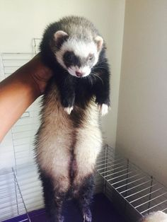 How to Litter Train Your Ferret: 5 Steps (with Pictures)