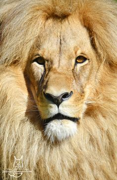 The Angola Lion/Southwest African Lion called Leon (Panthera leo bleyenbergi, Lev konžský, Status: Vulnerable) from&n. King with a huge mane Big And Small, Small Cat, Cat Pin, Tigers, Cubs, Lions, Kitten, African