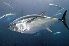 Southern bluefin tuna are classified as 'critically endangered' on the IUCN's Red List of threatened species, which means it 'faces an extremely high risk of extinction in the wild'. Fishing Life, Gone Fishing, Southern Bluefin Tuna, Marine Conservation Society, Fauna Marina, Marine Fish, Koh Tao, Sea Creatures, Under The Sea