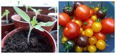 Tomaten pflanzen auf dem Balkon: So klappt es garantiert mit der eigenen Ernte