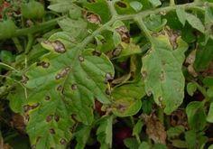 Фитофтора - как защитить помидоры от этой напасти