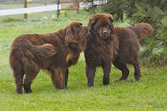 Brown Newfoundland dogs