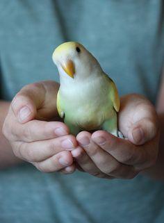 handful of ՏunՏhin℮. my lovebird, Sunny. held by Sophia.