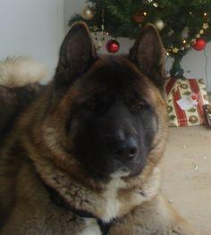 Most Inspiring Akita Chubby Adorable Dog - 9888966aedc56a19c61cbf08aeaf2041---pounds-chubby-cheeks  Gallery_635184  .jpg