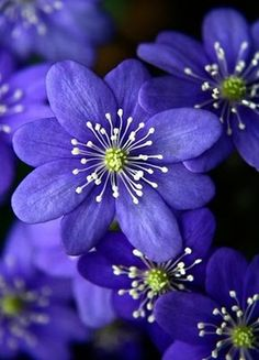 Hepatica - lovely looking flower I discovered.. such an intricate design :)