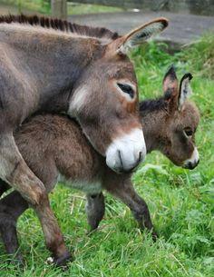 A mother's love. Courtesy: Clovercrest Miniature Donkey Stud, Pukekohe (New Zealand)…