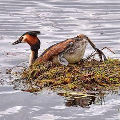 Nä, nu vill jag bada! #skäggdopping #naturumhornborgasjön #hornborgasjön #birdlife #birdwatching #ig_week_natur #ig_week_sweden #nikonphotography #nikond7200photography #nikon #sigmalens #sigma #naturfoto #wildlife