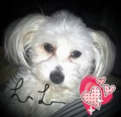 Lilly - URGENT - Valley Oak SPCA in VISALIA, CA - ADOPT OR FOSTER - 1 year old Spayed Female Maltese/Shih Tzu Mix