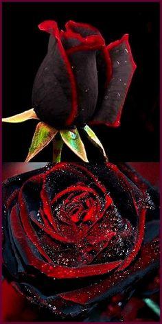 Free black rose seeds flower seeds bonsai perennial rare flower special red edge in each petal Beautiful Rose Flowers, Unusual Flowers, Unusual Plants, Rare Flowers, Black Flowers, Amazing Flowers, Black Roses, Black Rose Flower, Most Beautiful Eyes