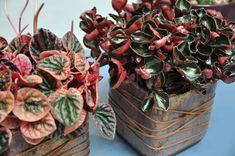 Peperomia, potteplantene Watermelon, Planter Pots, Gardens, Outdoor Gardens, Garden, House Gardens