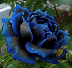 Rare Midnight Blue Rose Flower Seeds Garden Plant, Other Colors