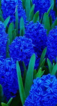 .blue flower
