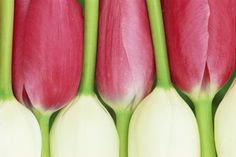 how awesome are these tulips? Pink and white tulips caressing.