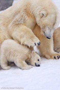 Delightful Polar Bears Family Photos by Sergei Gladyshev | The Stuff Makes Me Happy