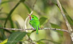 Cuban Tody, taken in the rain forest in Trinidad mountains