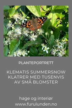 Ja, det tør jeg påstå - Klematis Summersnow er den mest klatrevillige og blomstrende klematisen jeg noensinne har hatt. Ønsker du å dekke et større område, kan Klematis summersnow anbefales. Se mer om den i denne artikkelen. #klatreplanter #klematis #planteportrett #furulunden #hagetips #hage #trädgård Plant Leaves, Herbs, Portrait, Plants, Headshot Photography, Herb, Portrait Paintings, Plant, Drawings