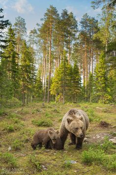Brown bear family among their forest habitat, Finland Repovesi National Park Forest Habitat, Brown Bear, Pet Birds, Animals Beautiful, Mammals, Animals And Pets, Habitats, Norway, Woodland