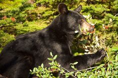 https://flic.kr/p/fzXvQ7 | _MG_1969 - Bear in the berries.  ©Jerry Mercier | A black bear eating berries along the Icefields Parkway in Banff National Park, Alberta, Canada
