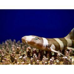 【matsuciyo】さんのInstagramをピンしています。 《こんにちは☺  今日はお待ちかね?wの#サンシャイン水族館 その③  珊瑚の上で大人しくしてたトラザメさん。よーくみると猫目です🐱  #水族館 #アクアリウム #珊瑚  #サメ #鮫 #青 #カメラ初心者 #ファインダー越しの私の世界  #写真撮ってる人と繋がりたい #写真好きな人と繋がりたい #オリンパス #ミラーレス #池袋 #東京 #日本 #aquarium #shark #coral  #blue #olympus #omd #em5 #ikebukuroaquarium #ikebukuro #tokyo #japan》