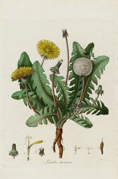 Taraxacum officinale) A botanical illustration described at the source as 'Dandelion, Taraxacum officinale'. Plate from 'Flora Londinensis'. Illustration Botanique, Illustration Blume, Botanical Flowers, Botanical Prints, Vintage Prints, Vintage Floral, Sibylla Merian, Taraxacum Officinale, Botanical Drawings