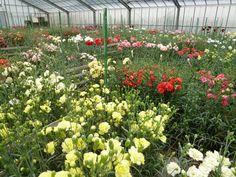 """""""Carnation""""(Giardino), Kawazu, Izu Shizuoka Japan (Febbraio)"""