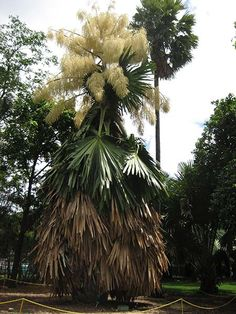The beautiful show of 16-foot-tall flowers that rise above the talipot (Corypha umbraculifera) comes at a steep price. The tropical palm, found in Sri Lanka and India, can live up to 75 years, but it flowers just once in that time, and then dies. The sturdy leaves are used for fans or to make thatch roofing.
