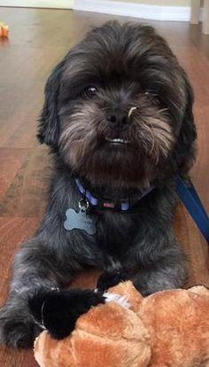 Found Dog - Shih Tzu - Tampa, FL, United States