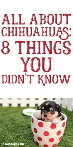 All About Chihuahuas: 8 Things You Didn't Know