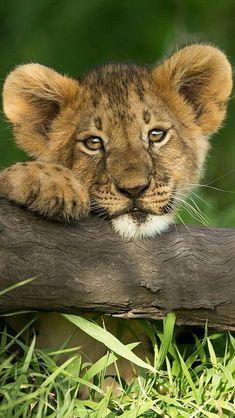 Nature Animals, Zoo Animals, Animals And Pets, Wild Animals, Lion Pictures, Baby Animals Pictures, Beautiful Cats, Animals Beautiful, Big Cats
