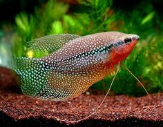 Pearl Gourami. A beautiful tropical fish and a community alternative to the aggressive angel fish