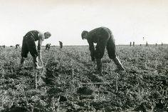 4455 | Noordoostpolder. Het uitzetten van greppels. 1943. Br… | Flickr