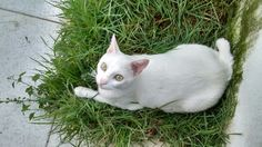 White Cats, Animals, Gatos, Animales, Animaux, Animal, Cat, Animais, Kitty