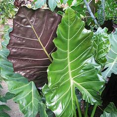 Mayan Mask's huge, upright, dark green foliage makes a dramatic statement with white veins and maroon undersides. This Upright Elephant Ear creates a tropical feel to any backyard retreat. PPAF (Alocasia)