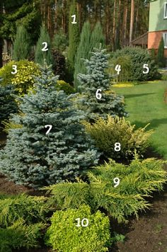 1 Juniperus communis Stricta 6 Blue spruce Maigold 2 The rocky juniper Blue Arrow 7 Blue spruce Glauca Compacta 3 Deren white Aurea 8 Yew Washingtonii 4 The European larc. Front Landscaping, Plants, Garden Trees, Shade Garden, Landscaping Plants, Garden Design, Evergreen Landscape, Garden Shrubs, Evergreen Garden