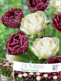 Tulp Mix Dream Touch & Global Desire bollen kopen! Bestel nu!