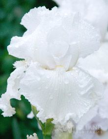 Immortality Reblooming Bearded Iris Blooms: Mid Spring AND Late Summer Light: Full to Partial Sun