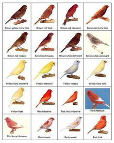 Types of Canary Birds   Color bred Canaries