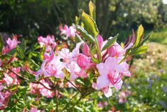 Rhododendron Prinophyllum, Roseshell Azalea, Early Azalea, Woolly Azalea, Rhododendron roseum, Azalea prinophylla, Rhododendron nudiflorum var. roseum, Midseason Azalea, Deciduous Azalea, Pink Azalea, Pink Flowering Shrub