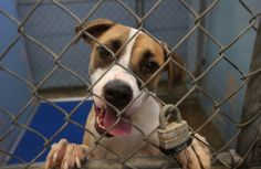 If you're thinking of adopting a Boxer Great Dane, you are in luck - these dogs are great for most people! Here are some things you should know about them.