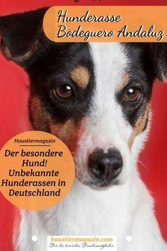 Eine Hunderasse die in Deutschland noch fast unbekannt ist, der Bodeguero Andaluz  #dogs #hunde #hunderassen #htm #hundeliebe Parson Russell Terrier, Tricks, Rat, Adoption, Animals Dog, Wild Animals, Rabbits, Cats, What Kind Of Dog
