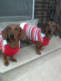 Dachshunds in Christmas sweaters