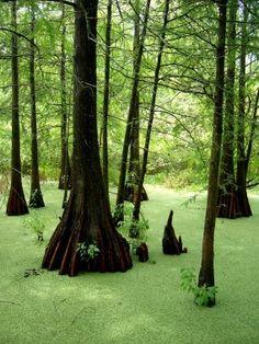 La Louisiane des bayous: Lac Martin. (Photo Simon Chabot, Archives La Presse)