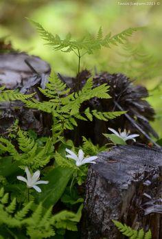 winterhart bis -40°C (USDA 4)Oak Fern (Gymnocarpium dryopteris) | Flickr - Photo Sharing!